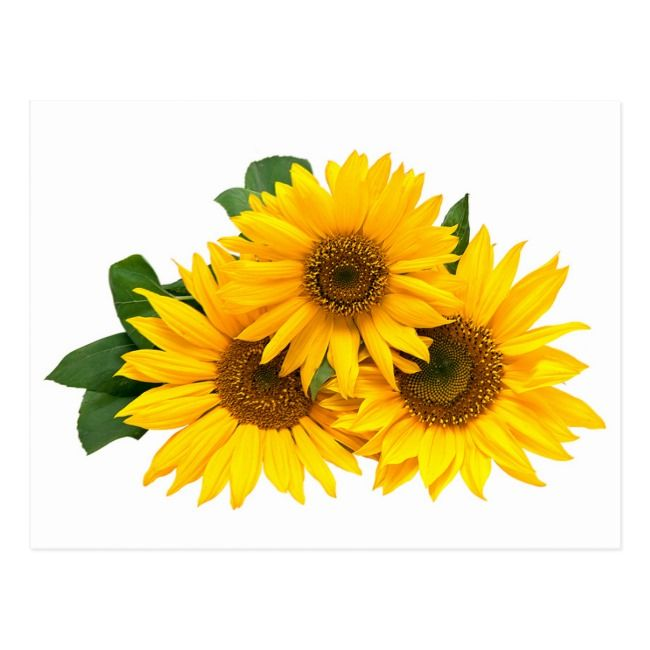 Create Your Own Postcard Zazzle Com Sunflower Images Sunflower Flower Yellow Flowers