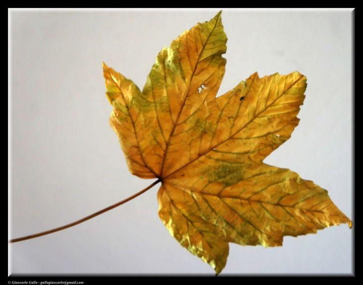 A leaf by Giancarlo Gallo