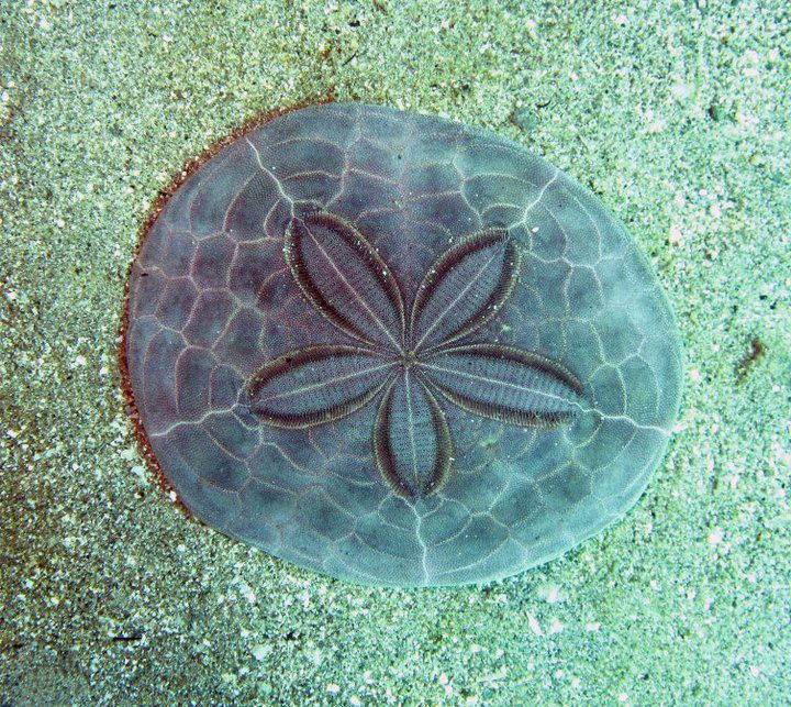 Huge Sand Dollar#Repin By:Pinterest++ for iPad#