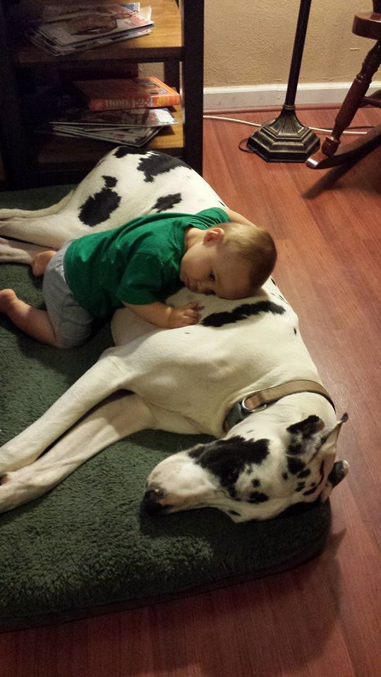 Cool 120+ Great Dane https://meowlogy.com/2017/04/02/120-great-dane/ If you suspect your dog is experiencing bloat, get it to your vet after possible. Your dog may begin whining when you get started getting ready for wo...