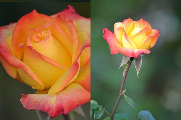 moksha.hu   Nincsen kert rózsa nélkül – A rózsa szaporítása   http://www.moksha.hu