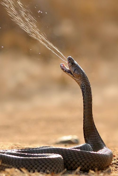 Beware of the spitting cobra.  He can accurately shoot his venom over eight feet and often aims for the head/face.