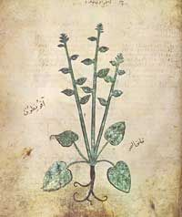 Probably the Most Beautiful of the Earliest Surviving Scientific Codices (Circa 512)    An illustration of illustration of the species 'Akoniton napellus,' folio 67v.   The oldest surviving copy of Pedanius Dioscorides's treatise on medical botany and pharmacology, De materia medica, is an illuminated Byzantine manuscript produced about 512 CE.