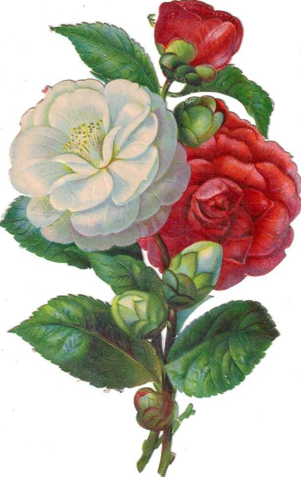 Victorian Scrap Large White & Pink Camellia Bouquet Die Cut c1880