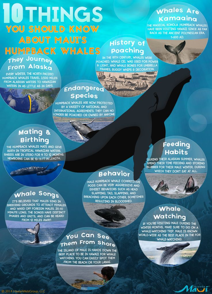 Top 10 Things You Should Know About Maui's Humpback Whales: http://www.prideofmaui.com/blog/whale-watching/maui-humpback-whales.html