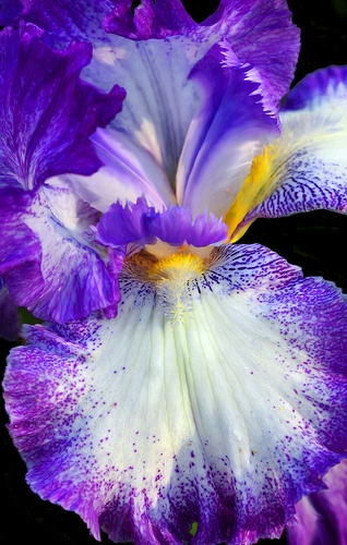 Iris - Flower