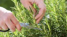 Küchenkräuter ernten und pflegen: Basilikum-Blätter nicht einzeln zupfen. Und was ist mit Petersilie, Schnittlauch oder Dill? Pflege-Tipps für Küchenkräuter.