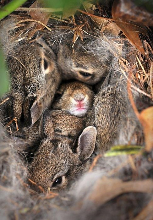 "An Old English word for a nest of Bunnies is ""Fluffle"". You tell me, is that the best word ever to describe this picture? Fluffle!"