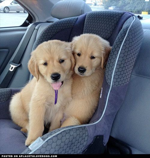 golden retriever puppies are so ~ Adorb~ wen they are puppies xx
