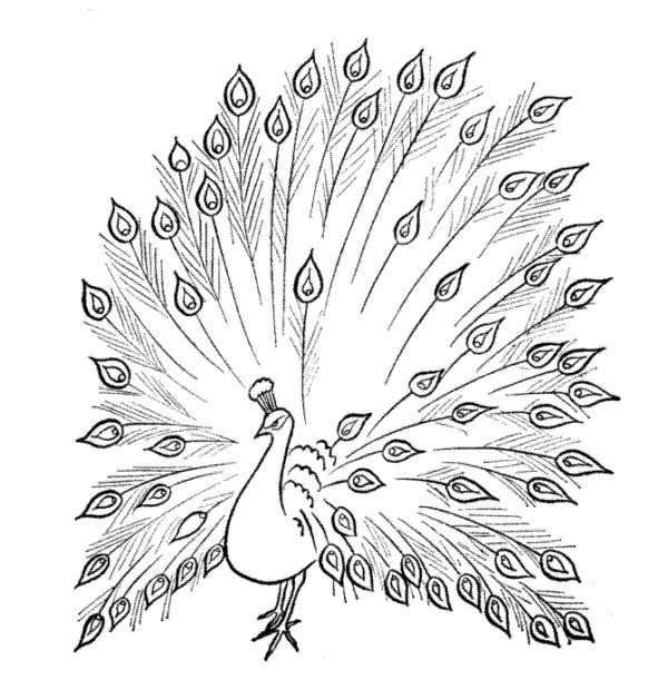 Beautiful Coloring Pages for Adults | Some more coloring pages, sketches and drawing of peacock bird…