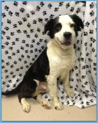 Deisel Is An Adoptable Spaniel Dog In Parkersburg Wv I M A Big