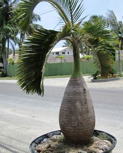 Bottle palm tree in container ready for your patio this summer. www.palmtreepassion.com   #palmtrees #landscaping #gardening