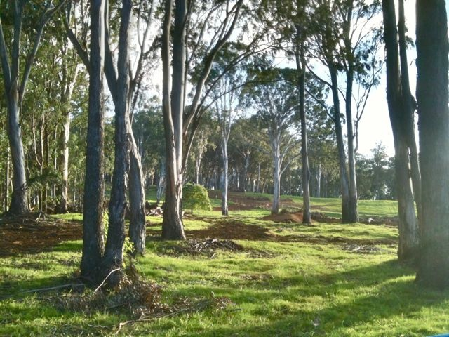 Eucalyptus forest in Olinda - Makawao Maui HI 96768