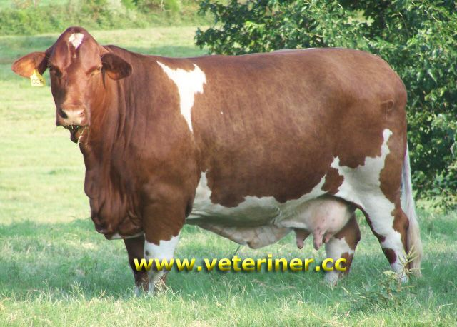beefmaster Cattle Pinterest Cattle, Cow and Livestock