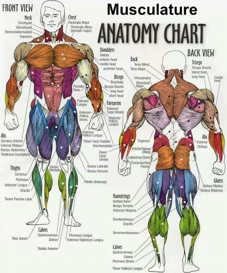 26 best Muscular Anatomy for Pilates images on Pinterest | Human ...