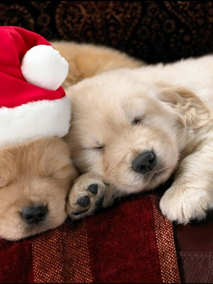 Cute Baby Puppies | adorable christmas puppy great capture sleeping puppies