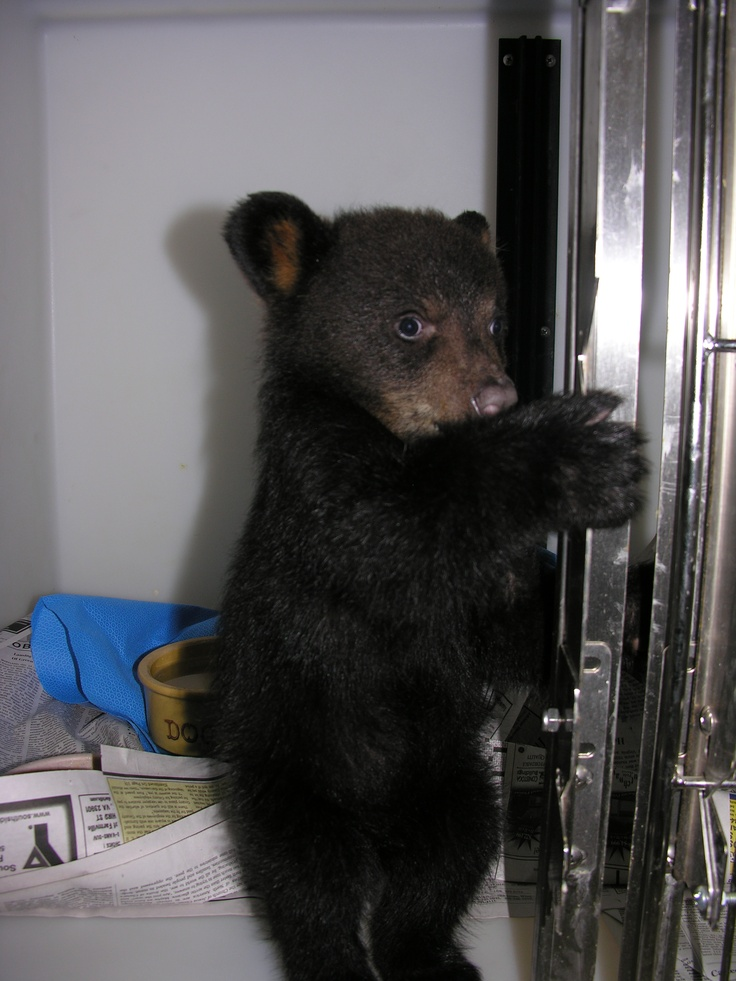 Black Bear cub 10-0389 at the Wildlife Center of Virginia.  This cub was admitted in the spring of 2010 after it was separated from its mother.