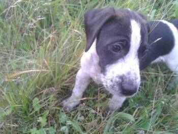 """PLEASE SHARE FAR & WIDE STOLEN PUPPY 9 WEEKS OLD Stolen 30.09.13 from Yewdale Road, Ashton In Makerfield, WN4 """"RONNIE"""" Beagle X Jack Russell, male, black and white with a spotty face Ronnie's owner is heavily pregnant so if anyone can please possibly help with postering the area, it would be highly appreciated. Please can everyone share and let's get him back home where he belongs x  http://www.doglost.co.uk/dog-blog.php?dogId=57938#.UkwHEJm9Kc0"""