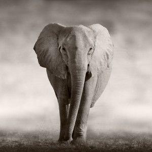 Wild African Elephant walking across an african plain