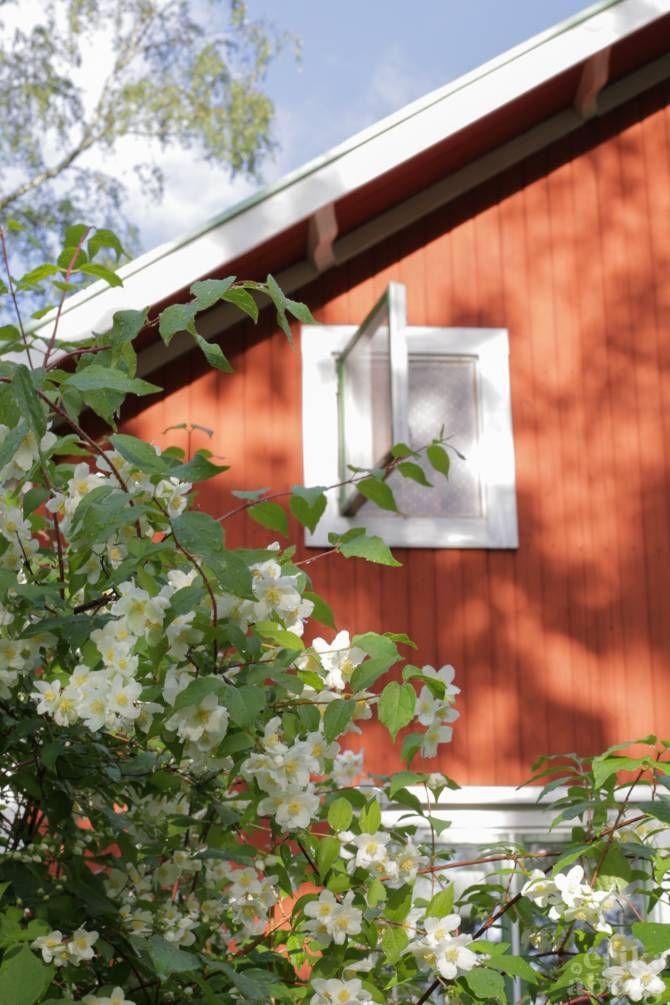 Schersmin utanför husgaveln. Foto: Erika Åberg  #gamla #hus #trädgårdar #rödfärg #byggnadsvård