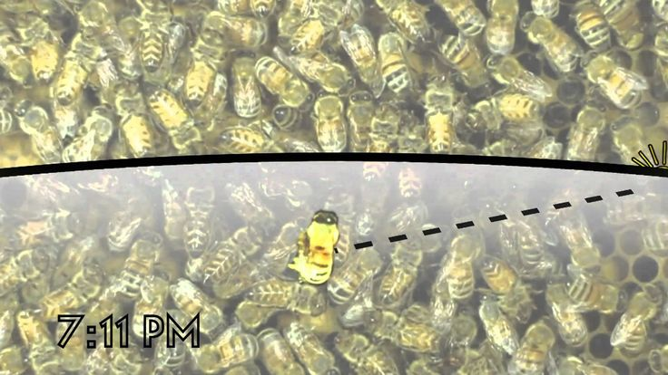 """The Waggle Dance of the Honeybee~  How can honeybees communicate the locations of new food sources? Austrian biologist, Karl Von Frisch, devised an experiment to find out! By pairing the direction of the sun with the flow of gravity, honeybees are able to explain the distant locations of food by dancing. """"The Waggle Dance of the Honeybee"""" details the design of Von Frisch's famous experiment and explains the precise grammar of the honeybees dance language with high quality visualizations."""