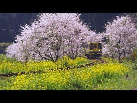 菜の花と桜と「いすみ鉄道」 Isumi Railway ( Shot on RED EPIC )  「いすみ鉄道」 では春に菜の花が沿線を埋め尽くします。  沿線には桜の木も植えられており、菜の花と桜の中を黄色い列車が走ります。  Isumi Railway line in Chiba Prefecture, Japan, runs through in a spring landscape of rape blossoms and cherry blossoms.