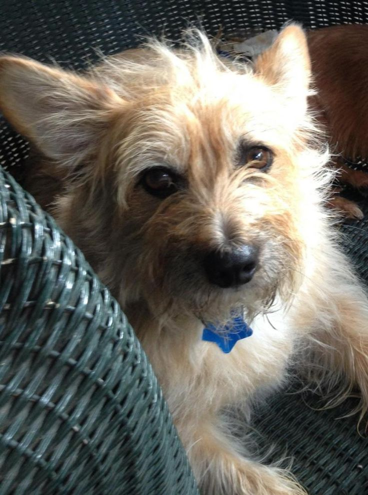 Tonka Cairn Terrier & Corgi Mix • Adult • Male • Small Oklahoma Westie Rescue Tulsa, OK