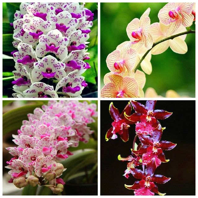 High Quality 100 Pcs Cymbidium Orchid Cymbidium Flower Plant Bonsai Flower 25 Colours To Choose Plant For Home Garden Flower Seeds Bonsai Flower Orchid Seeds