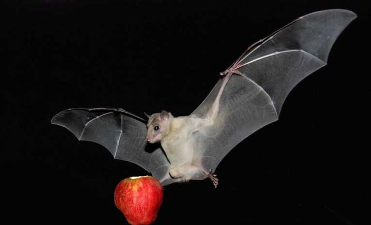 In the crowded canopy, fruit bats get flexible with sonar | Nature ...