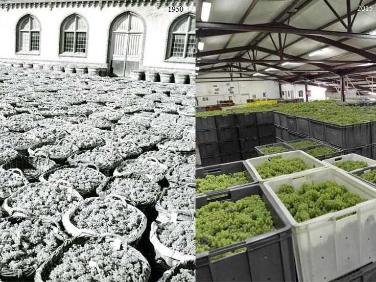 Champagne harvest 1950 vs 2015