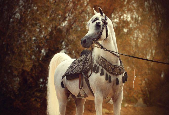جمال الخيل العربية لنركبها وزينة Beautiful Arabian Horses Horses Arabian Horse
