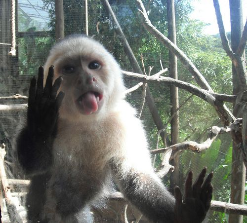 """Adorable Costa Rican Monkey"" Student Photo in Costa Rica"