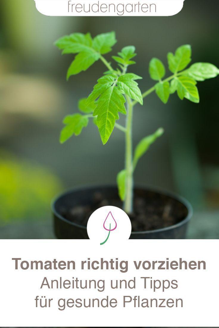 Tomaten Aussaen For Garden Tomaten Pflanzen Gemusegarten