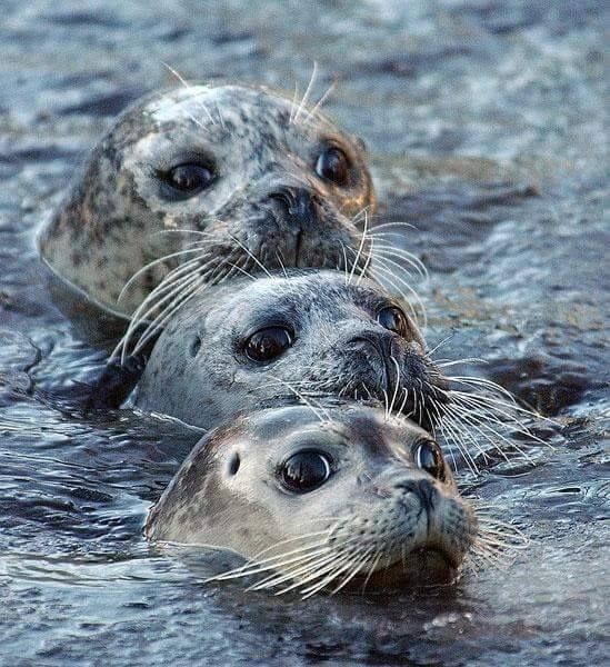 Pinnipeds  fin footed marine mammals  are divided into two categories  earless seals  true seals  and eared seals  sea lions     Focus On the Positive  The     Pinterest