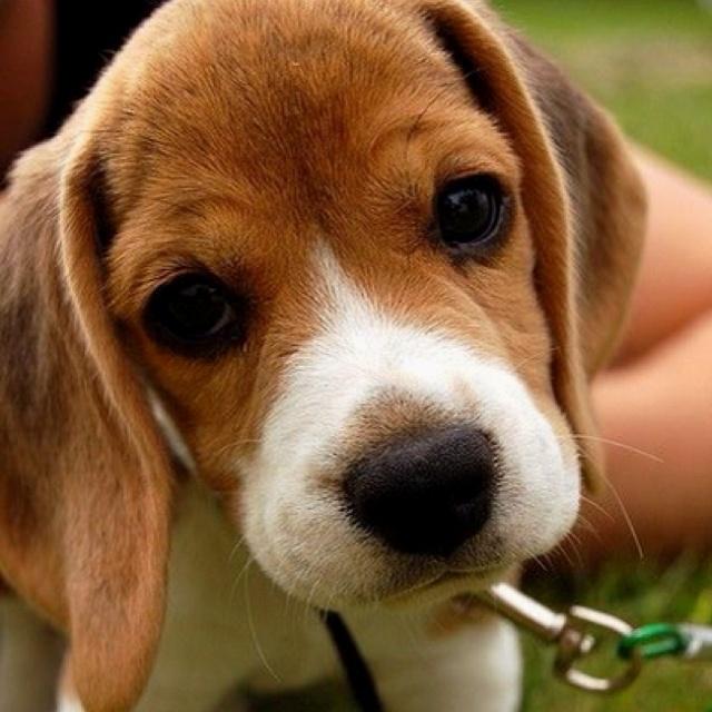 Beagle baby cute precious stuff pinterest