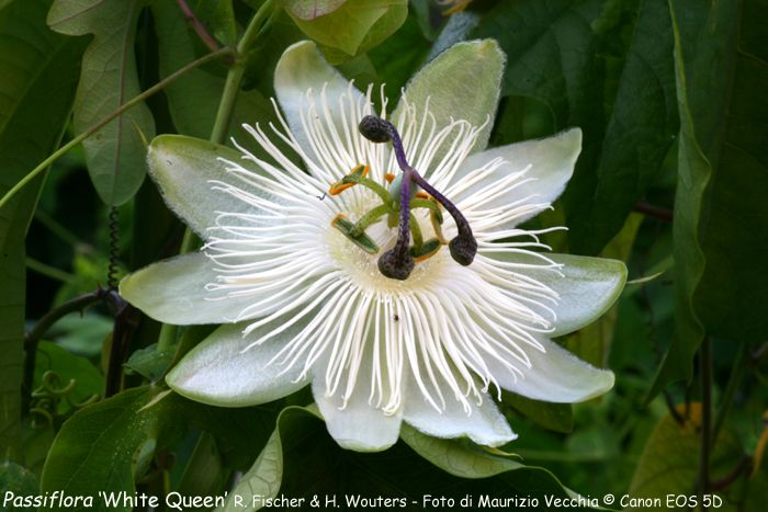 passiflora white queen