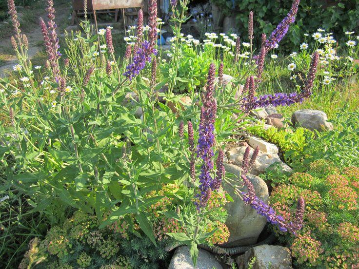 Благодаря своеобразному облику и сине-фиолетовой палитре в окраске соцветий, многолетние шалфеи придадут неповторимый колорит любому уголку сада. Шалфеи используются для создания ярких пятен на газоне, великолепно сочетаются с растениями контрастных окрасок, например, желтой или белой – с ирисами, клематисами, эхинацеями, лилиями. Розе шалфеи станут достойными спутниками, подчеркивая ее красоту и выделяясь на ее фоне синью своих цветков. Если в саду есть место для пряно-ароматических трав.
