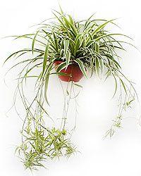 Csüngő csokrosinda (Chlorophytum comosum)