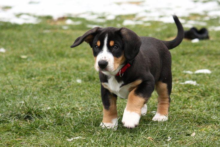 ENTLEBUCHE CATTLE DOG/ENTLEBUCHER SENNENHUND ENTLEBUCHE