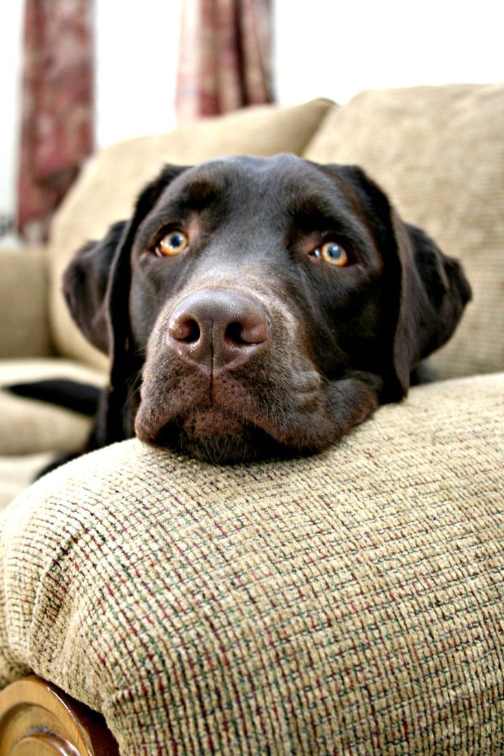 1496 best labrador images on pinterest labrador retriever chocolate lab looks like our rocky miss you nvjuhfo Images