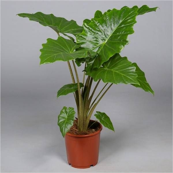 Exotic tropical flowers: anthurium. Home care