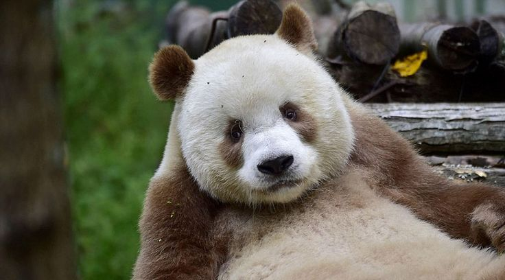 Abandoded by his mother at 2 months old, and having to face bullying from other pandas growing up, now Qizai, the only brown panda in the world, is thriving and becoming a celebrity of the animal world!