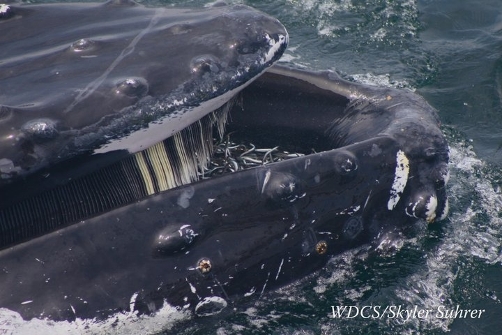 Close up shot of a feeding humpback whale. The fish in the ...