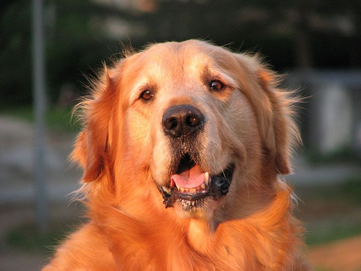 Calm down your golden retriever with these tips dogs