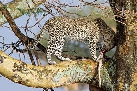 what do leopards eat