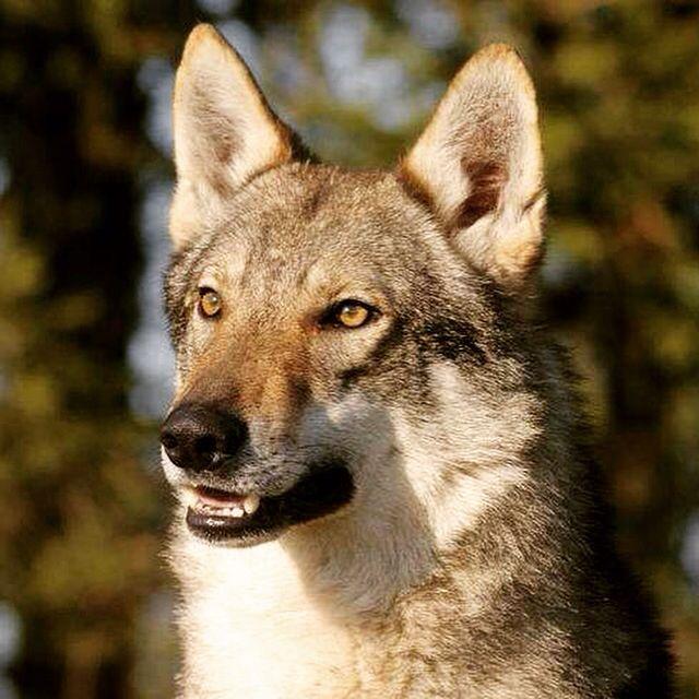 #Sennecé - #Sancé : Deux chiens loup tchèques attaquent la Police! Faits divers à consulter sur macon-infos.com...