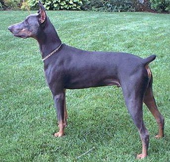 Blue Doberman Pinscher.  This is the kind of dog I have.  She is a handful, but she is also so sweet and loyal and loving.