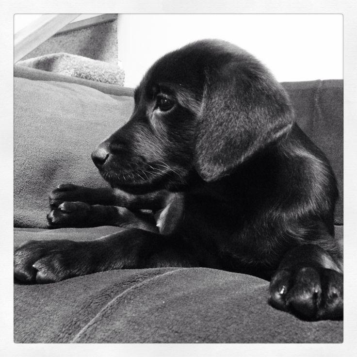 Beautiful Black Labrador Puppy, 8 weeks.