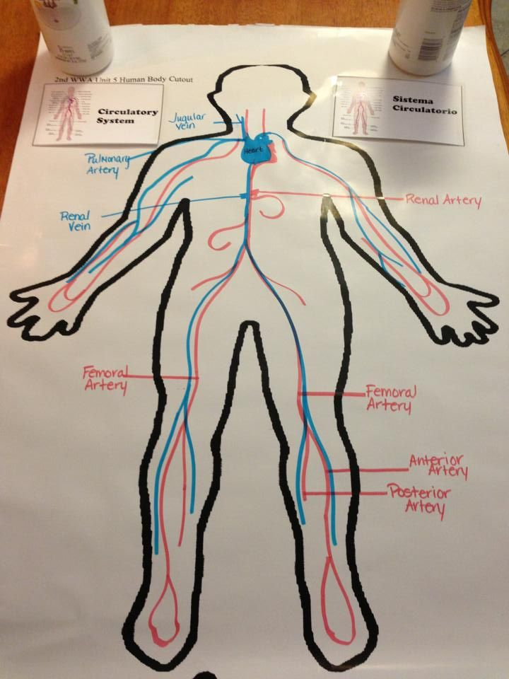 circulatory system... except we'd draw animals and their systems!