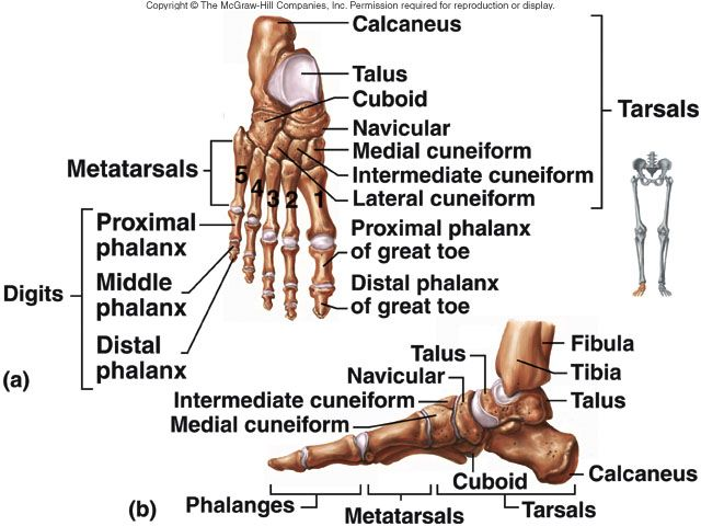 20 best Bones of the Foot images on Pinterest | Bones, Human body ...